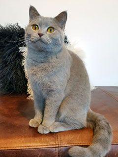 Pedigree Lilac British Shorthair Kittens In 2020 British Shorthair British Blue Cat British Shorthair Kittens