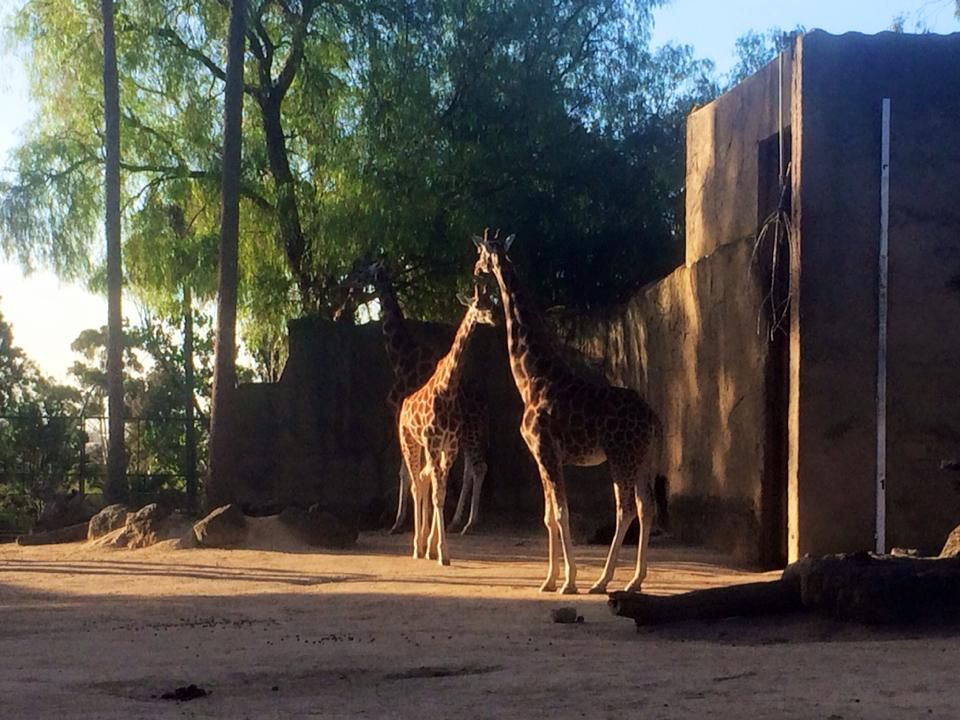 giraffes at Melbourne Zoo.   // by Kerry Moor