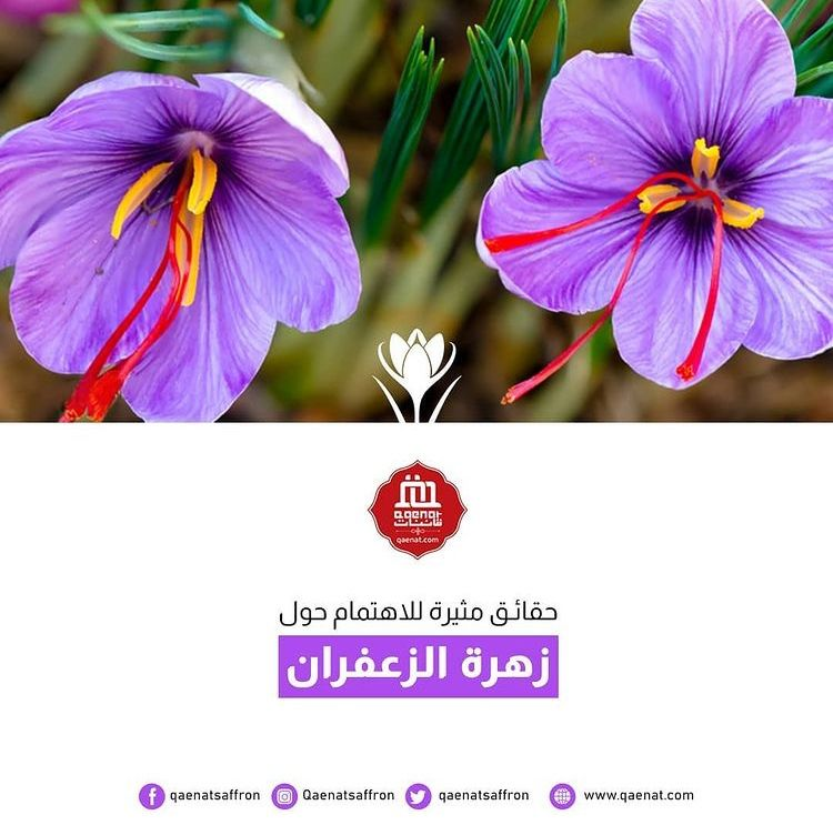 الزعفران عبارة مياسم مجففة من نبتة مزهرة تسمى Crocus Sativus كل زهرة من الزعفران تحتوي فقط على 3 مياسم يتطلب حوالي Saffron Flower Planting Flowers Flowers