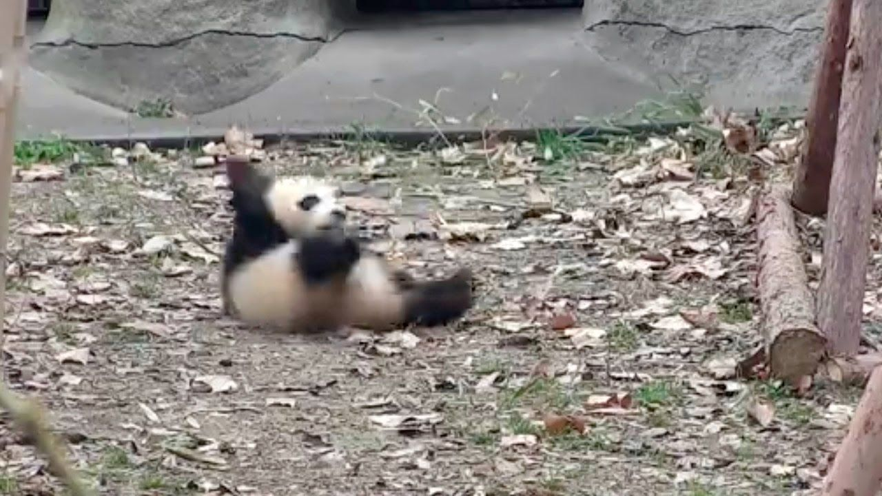 Cute Alert Angry Baby Panda Don T Touch My Favorite Toy Baby