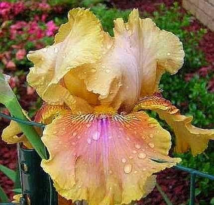 Polish Princess Tall Bearded Iris Rhizome (1) Clean & Bleached