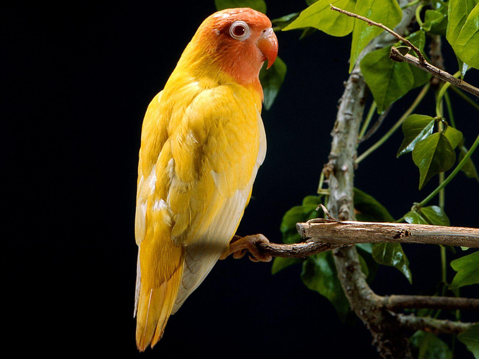 lovebird hd wallpaper wallpaperxy com animal pinterest birds