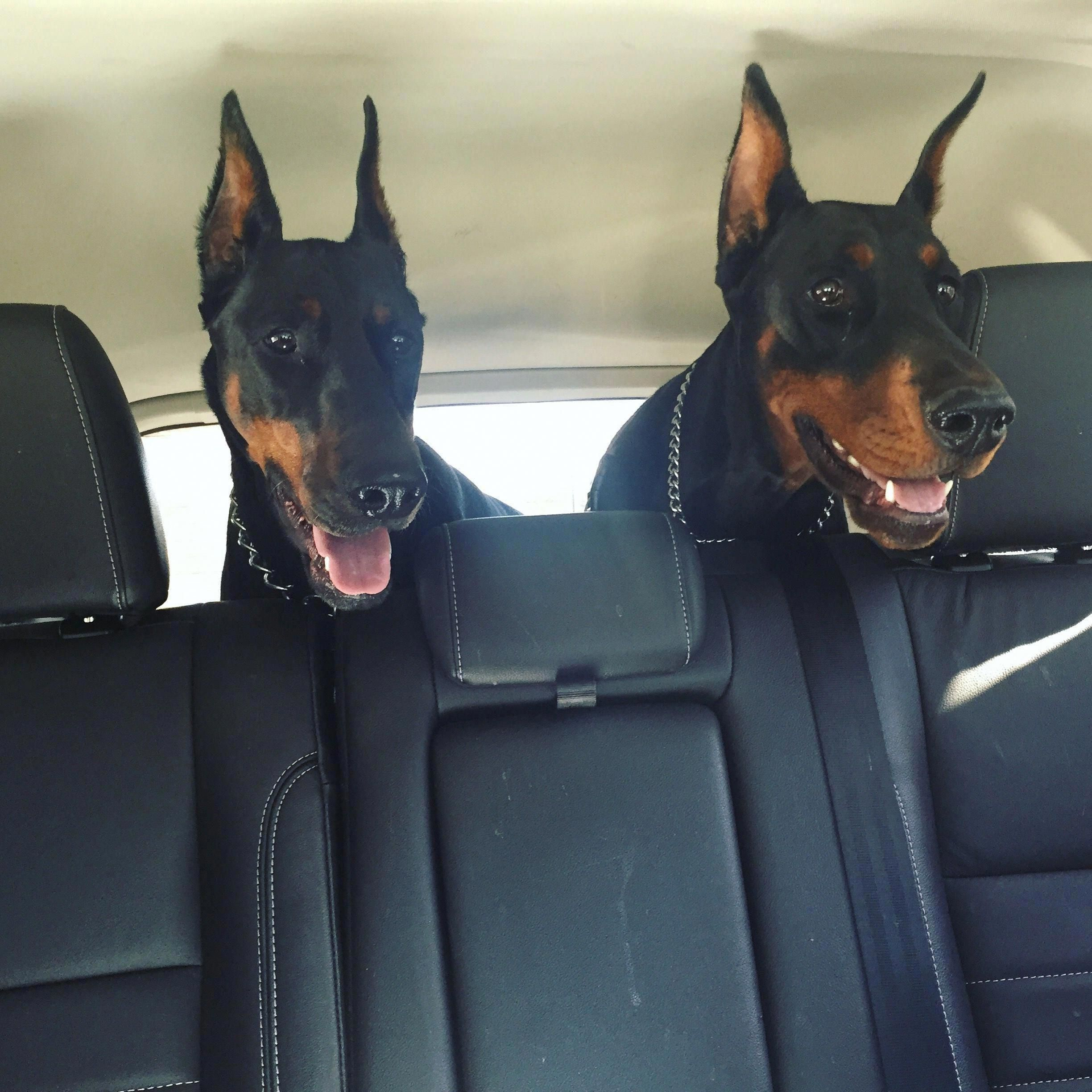 Visit Our Website For Additional Details On Miniature Pinscher It Is Actually An Exceptional Area To Learn More Miniaturepinsc In 2020 Doberman Dogs Dogs Doberman