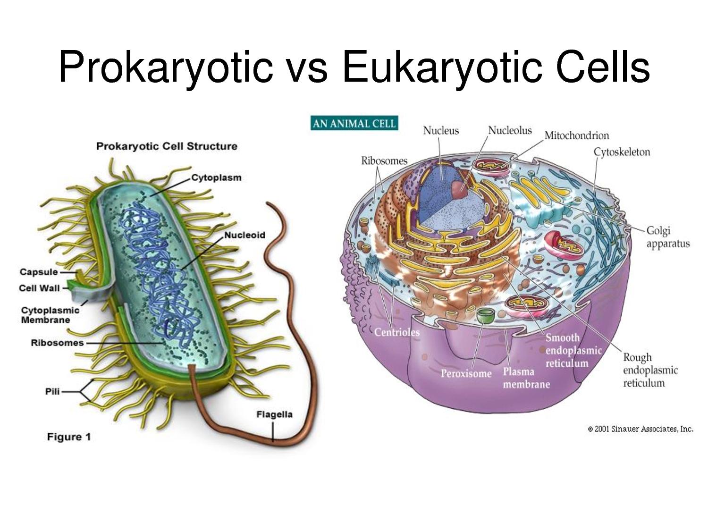 Prokaryotic Vs Eukaryotic