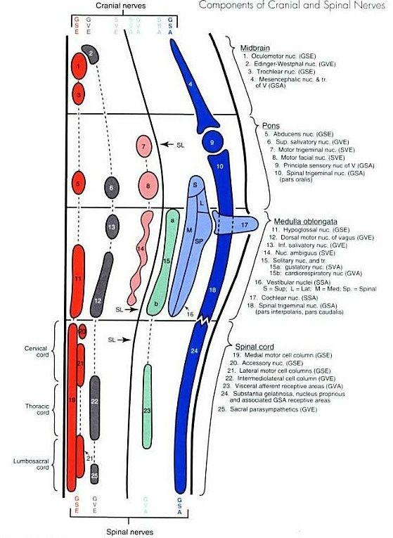 Brainstem Cranial Nerve Nuclei 1000+ ideas about cranial ...