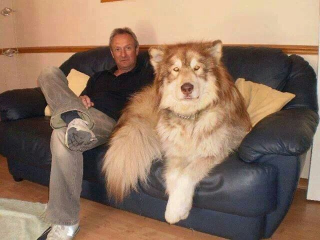 Biggest Husky In The World I Want One Funny Animal Pictures