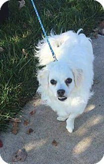 Pictures Of Frankie A Pekingesebichon Frise Mix For Adoption In O