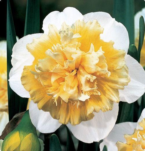 Double Daffodil Ice King