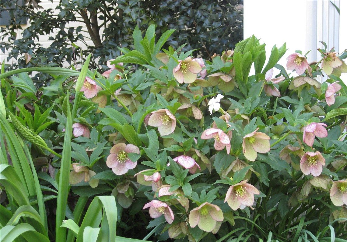 Image result for hellebores in ct ct non native shade perennials explore plants for shade deep freeze and more dhlflorist Image collections