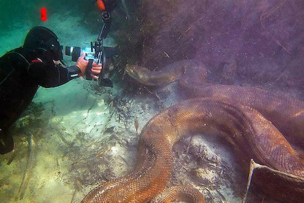 Check out this diver Scuba Diving with an Anaconda!!    http://scubadiverlife.com/2012/01/25/scuba-diving-with-anacondas/
