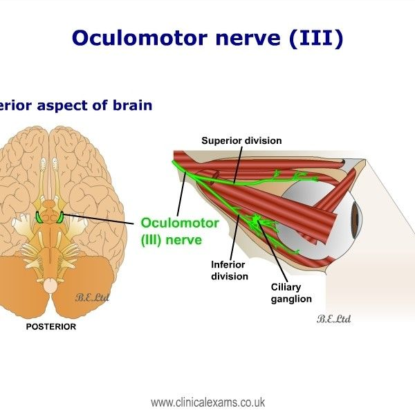 The oculomotor nerve is the third cranial nerve. It is predominantly ...