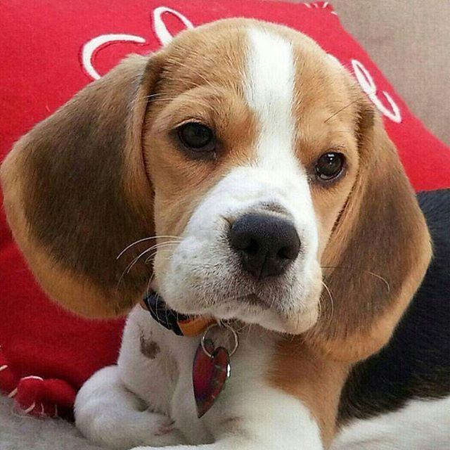 Like An Angel Beagle Puppy Beagle Dog Cute Beagles
