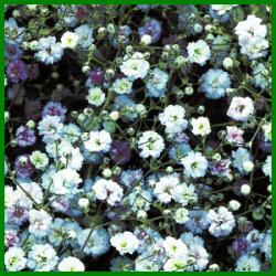 Schleierkraut Eine Reichverzweigte Pflanze Pflanzen Schleierkraut Bepflanzung