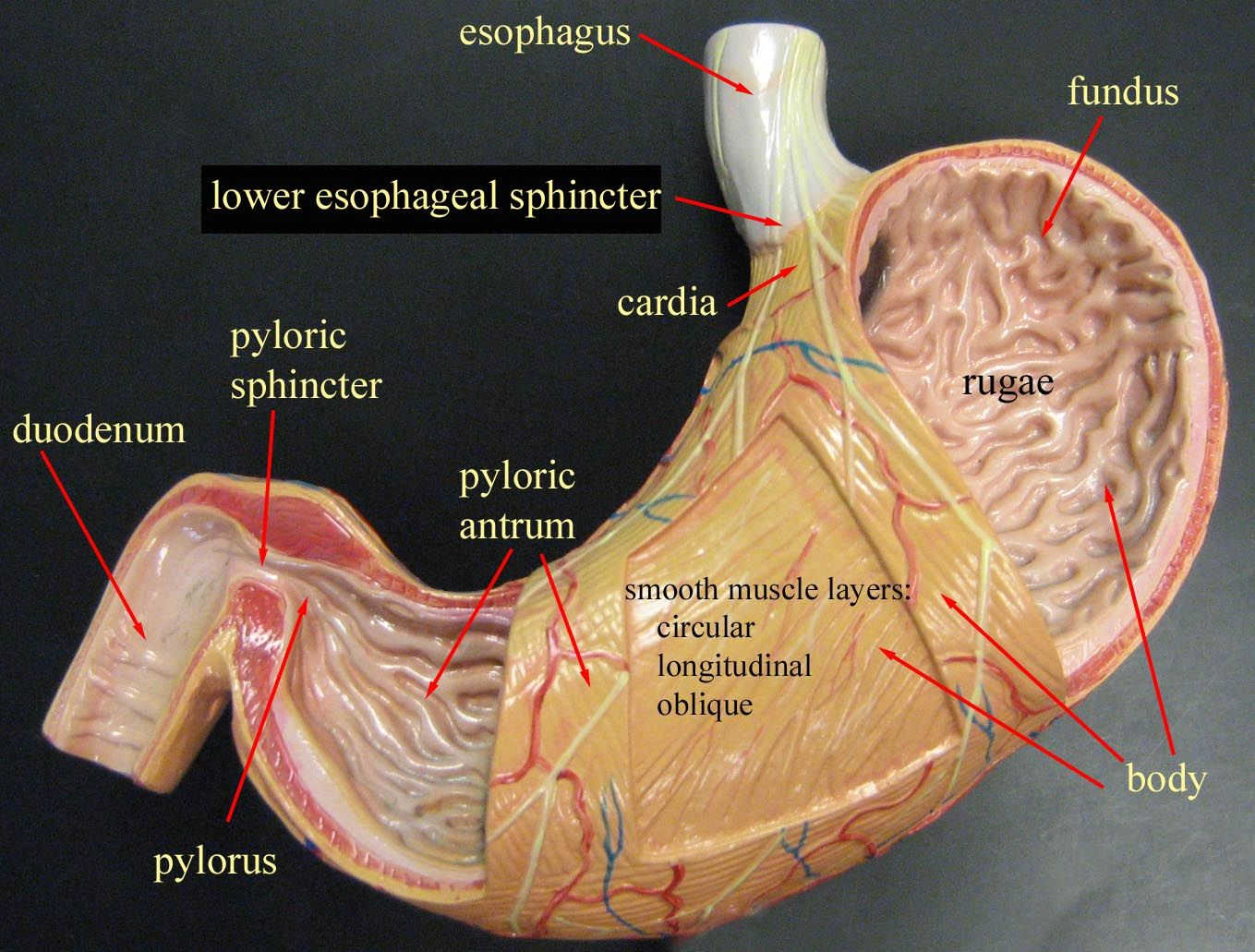 Stomach model google search anatomyphysiology pinterest stomach model google search ccuart Image collections