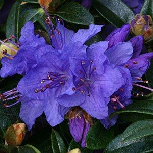 Rhododendron 'Gristede' 3L: Position: Sun / ShadeSoil: Fertile acidic moist well-drained and humus richFlowering Period:April / May (except where stat