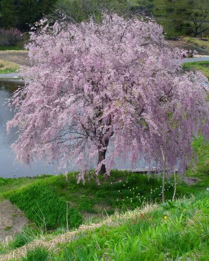 Pink Fountain Weeping Cherry Tree Seeds Weeping Cherry Tree Cherry Trees Garden Garden Trees