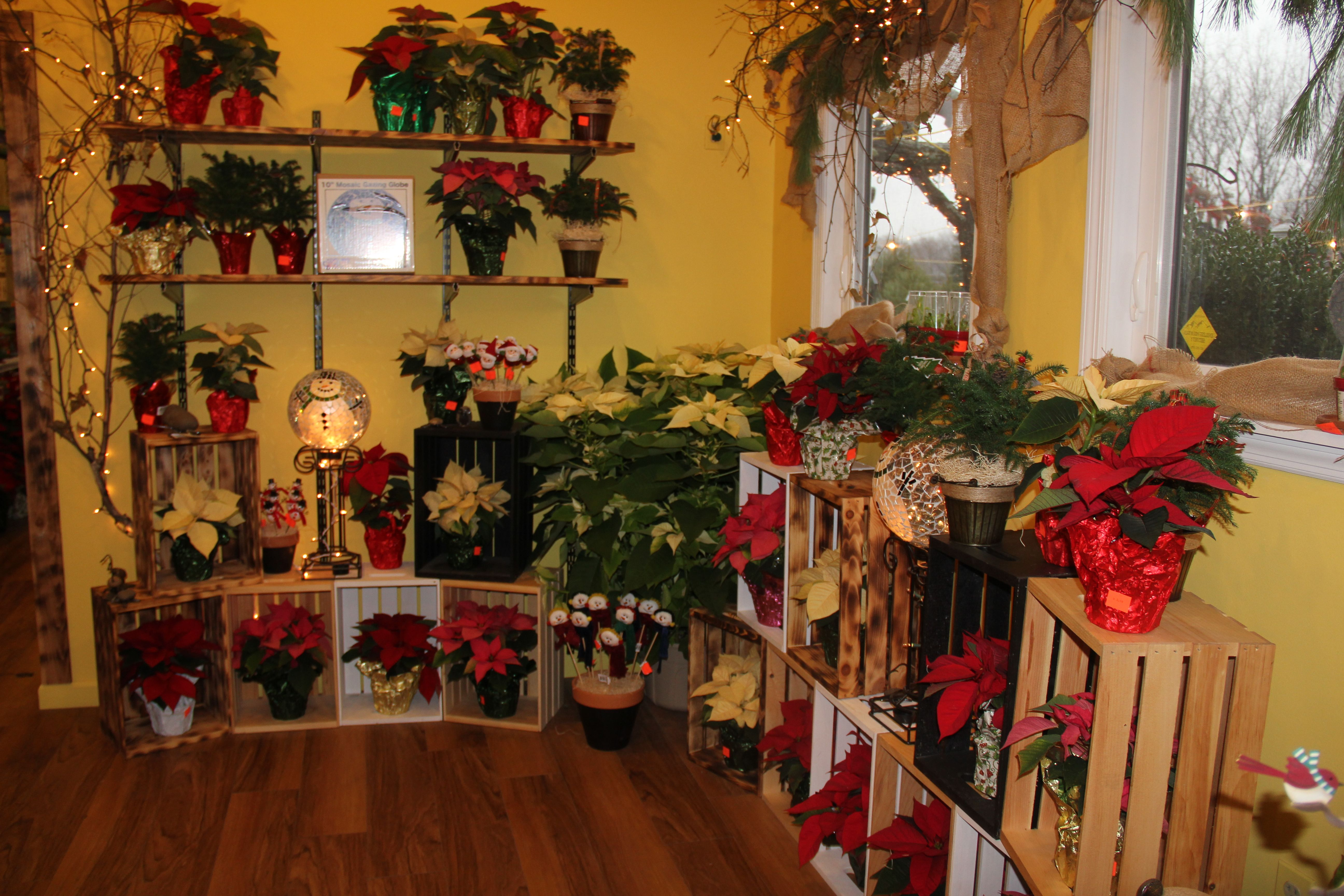 Edward's Garden Center has a whole room full of poinsettias for you to chose from!