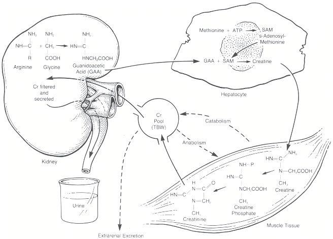 Creatinine Serum Levels Creatinine Levels Muscle Tissue
