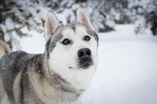 I Found Osi On Siberian Husky Dogs Husky