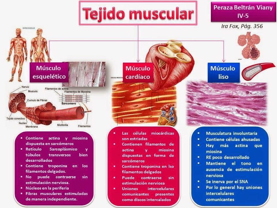 tejido muscular Tejido que posibilita la contracción de los músculos ...