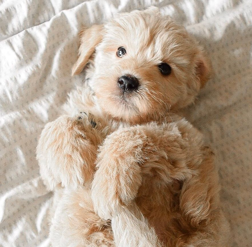 How Precious Is This Little Miniature Goldendoodle Pup Artisan