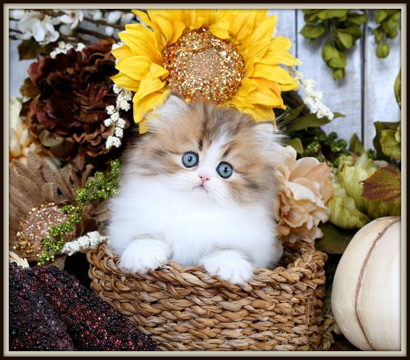Golden White Bicolor Persian Kittens Persian Kittens White