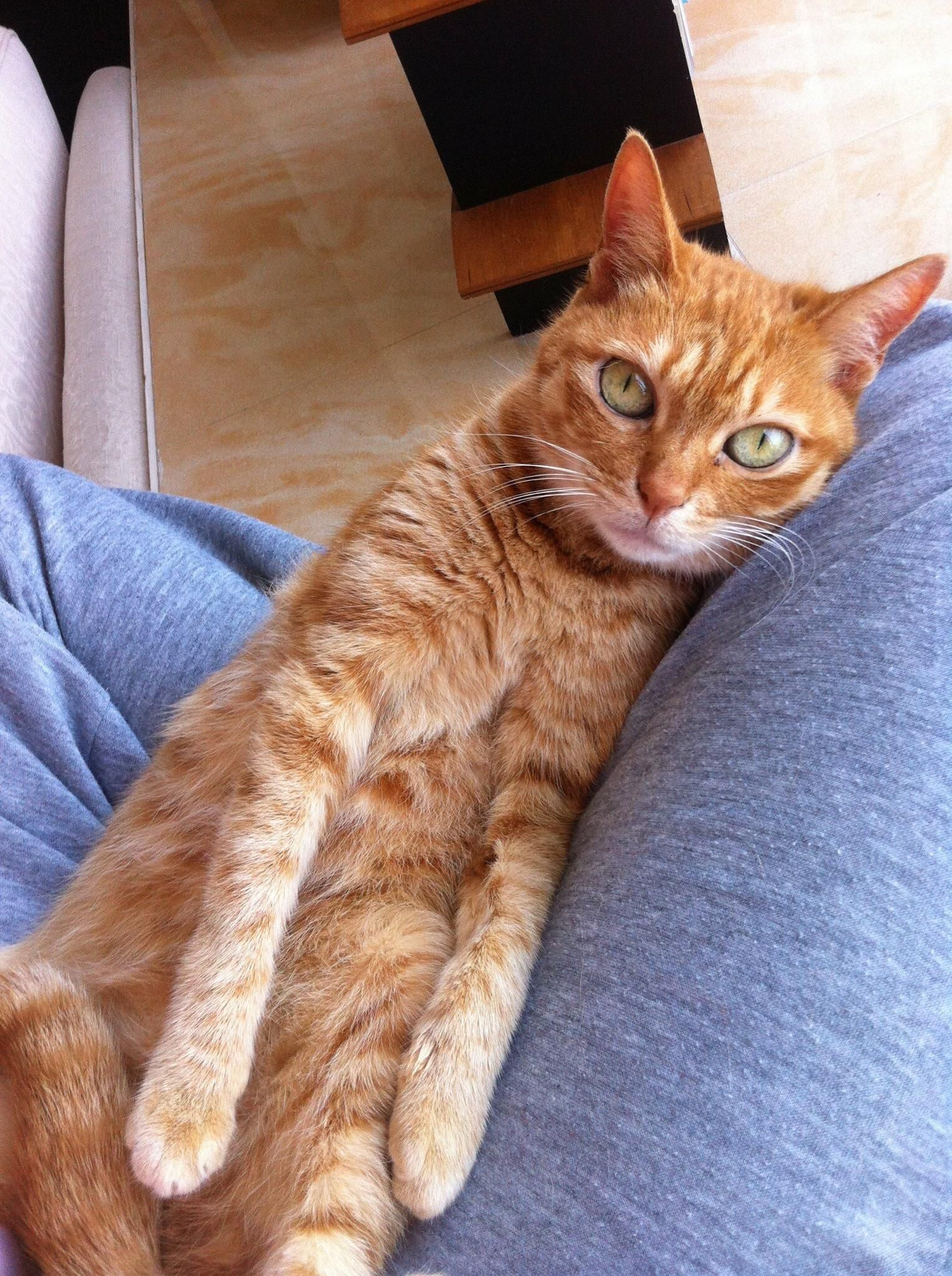 Just Found Out That Orange Female Tabby Cats Are Uncommon So How About One That Was Also A Model I Redd It Submitted Cute Cats And Dogs Cats Kittens Cutest