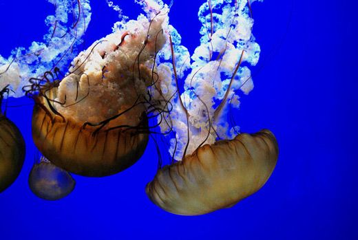 Brown jellyfish photography