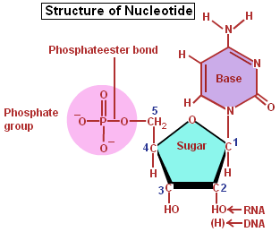 Nucleic acids a nucleotide a monomer of a nucleic acid nucleic acids a nucleotide a monomer of a nucleic acid ccuart Images