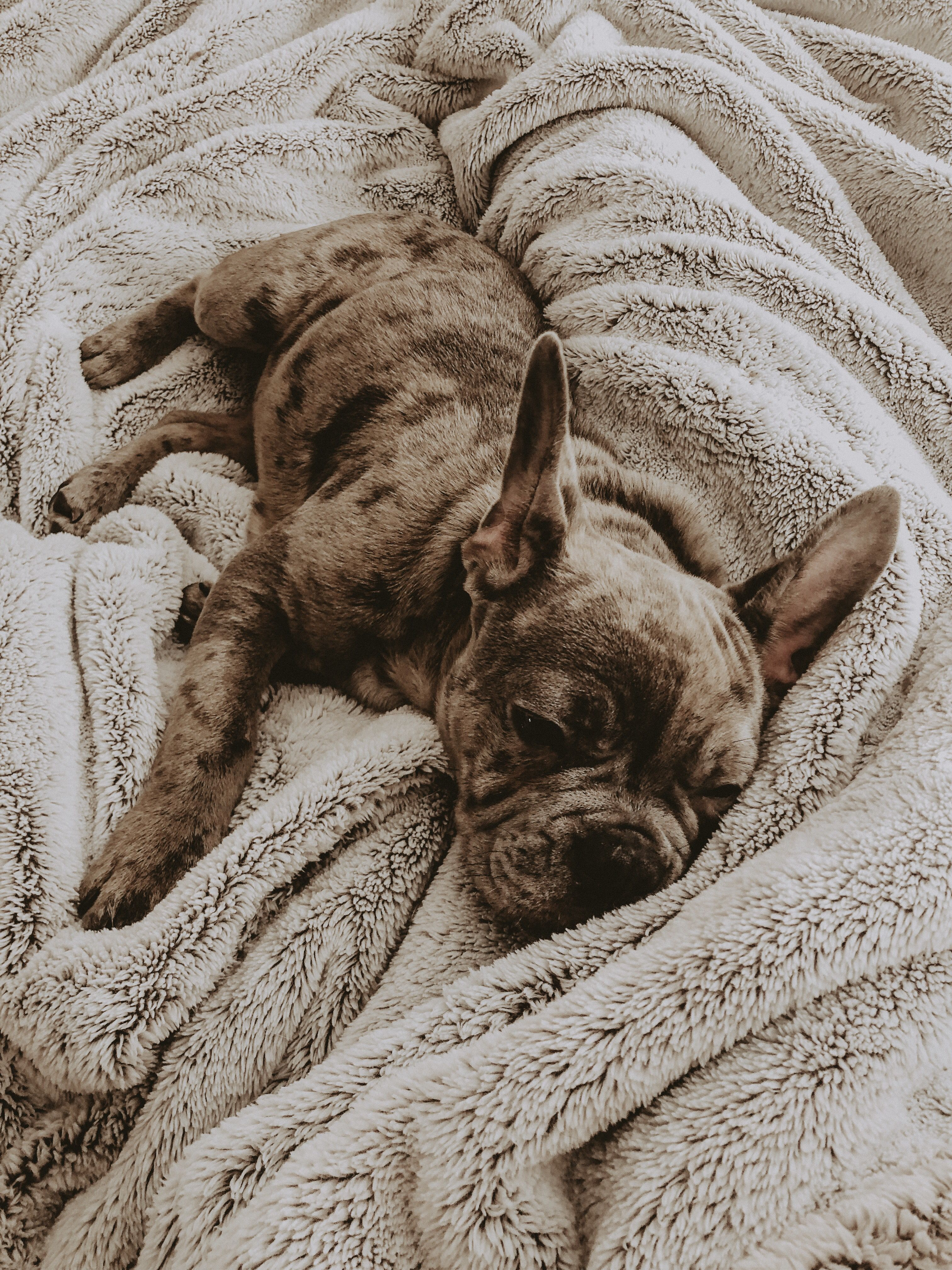 Puppy Frenchie French Bull Dog Puppy Spam Cute Puppies Cute