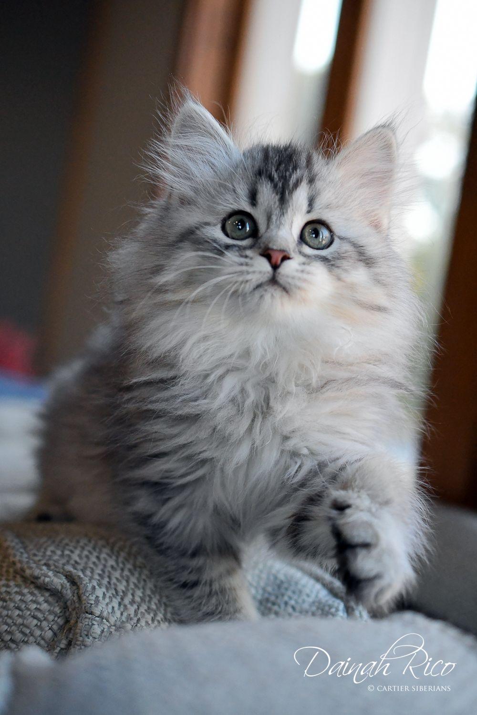Our Siberian Kittens In 2020 Siberian Kittens Kittens Siberian Cat