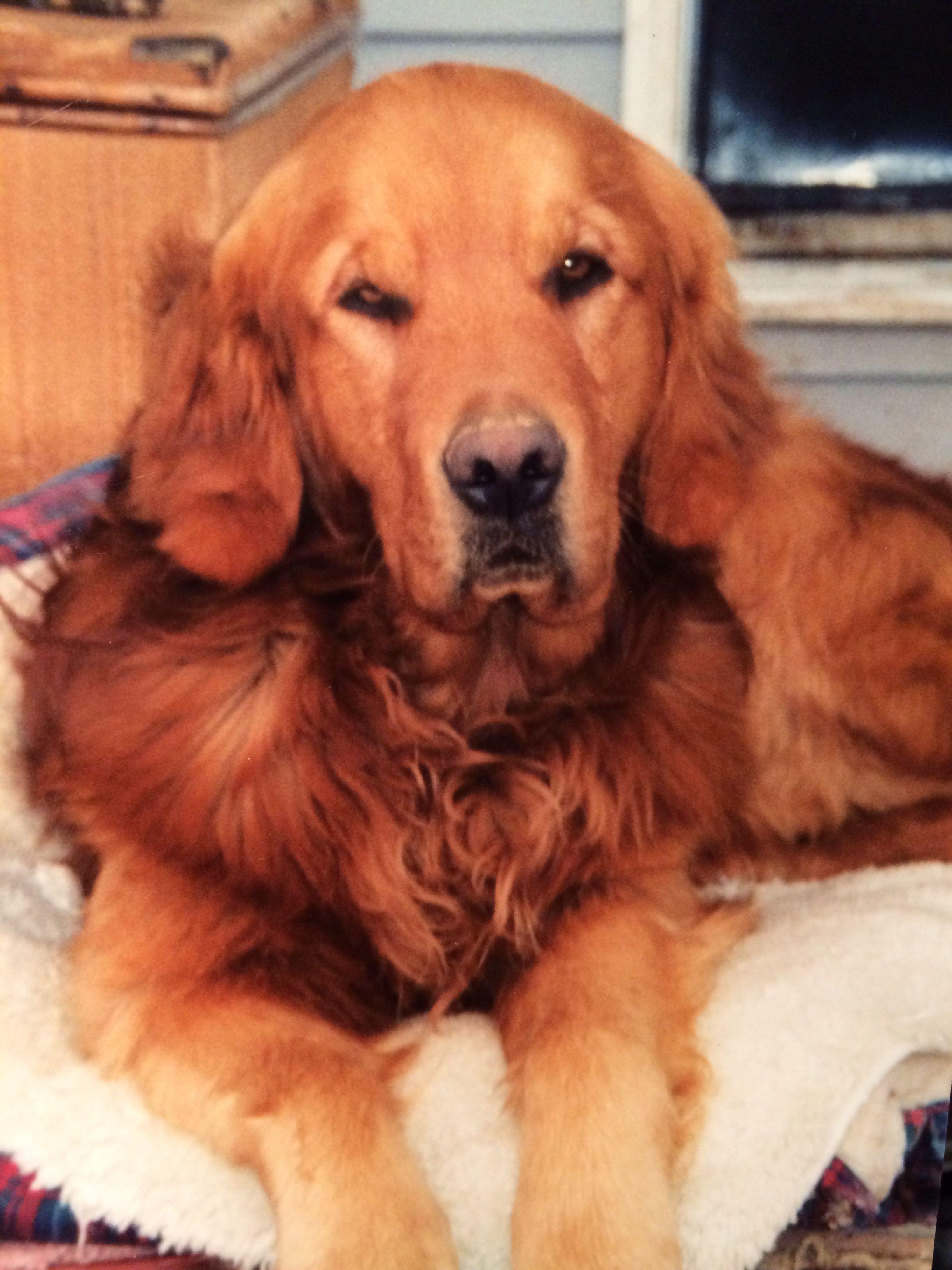 Golden Retriever Dark Hair I Love This Is My Dog Copper S
