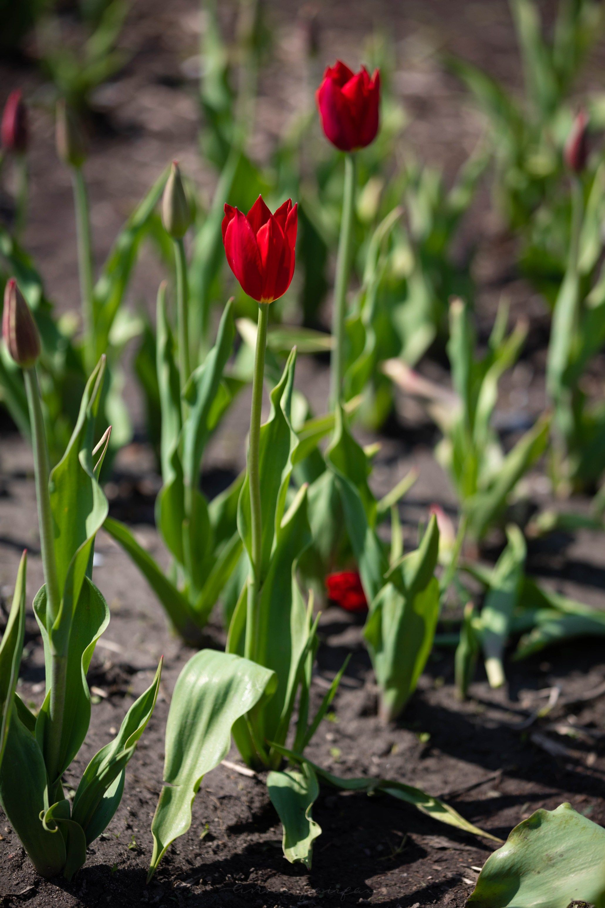 Tips for Visiting Tulip Time Festival in Holland | Articles
