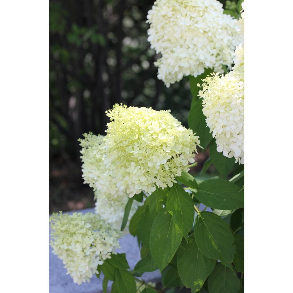 2 Gal Limelight Hydrangea Shrub With Green To Pink Flowers 14719 The Home Depot In 2020 Hydrangea Shrub Limelight Hydrangea Summer Hydrangeas