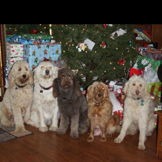 All my Doodles and Rocky the Poodle on Christmas 2011.