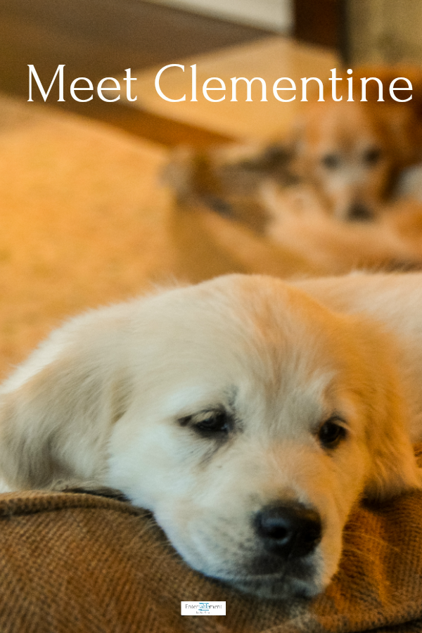 Golden Retriever Puppy Clementine Joins Dundee The Marmalade Kitten For Fun And Frolic Golden Retrievers G Golden Retriever Retriever Golden Retriever Funny
