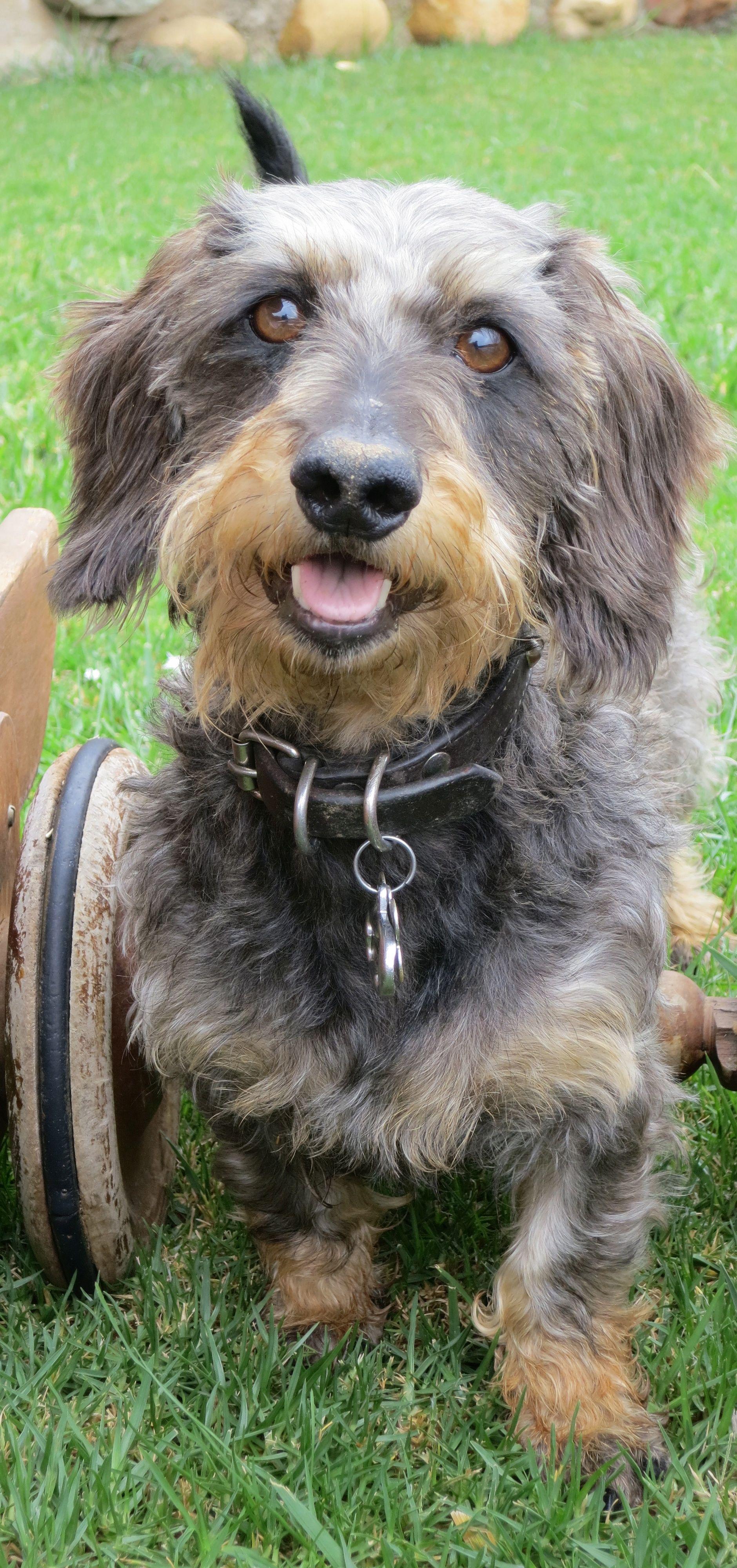 Mi Bartolo Wire Haired Dachshund Scruffy Dogs Doxie Dogs