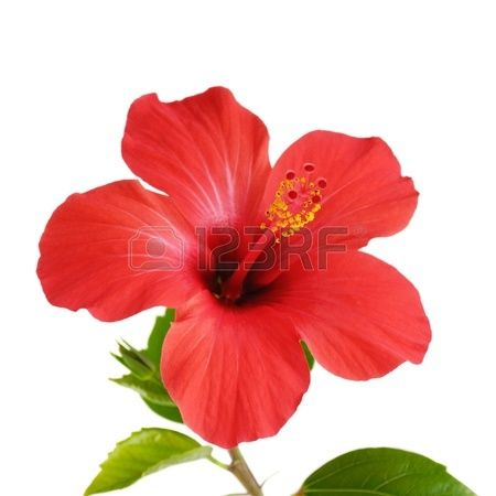 Red Hibiscus Flower Head Over White Background Hibiscus Flowers Red Flower Tattoos Flower Painting