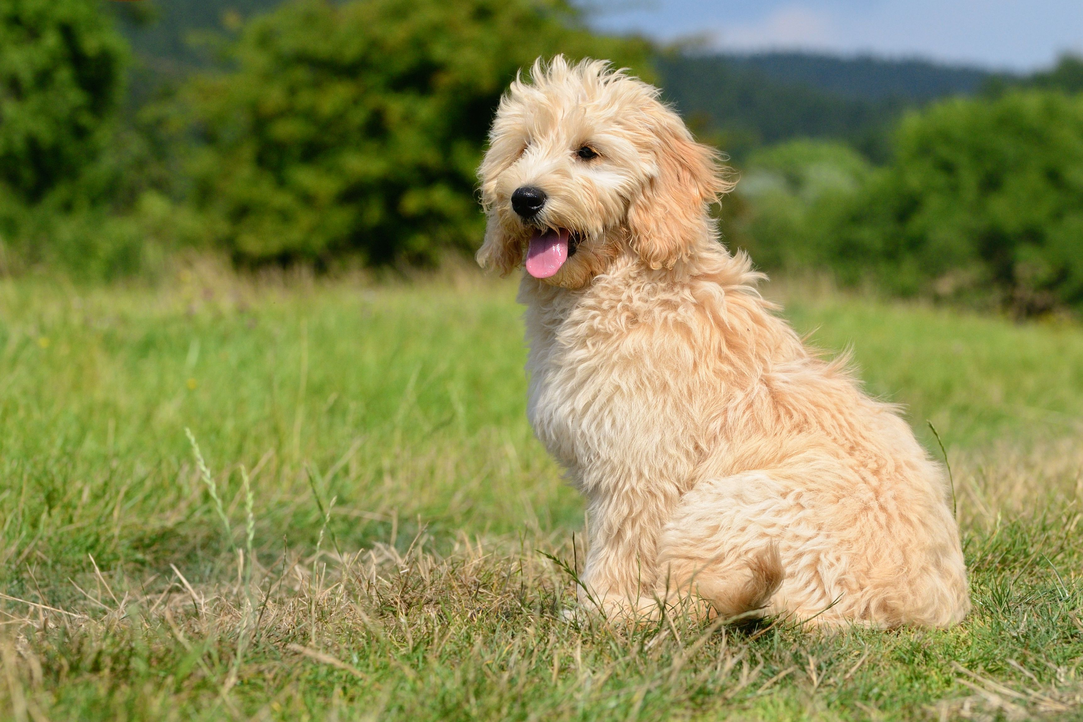 Goldendoodle puppy food puppy dogfood dogcare