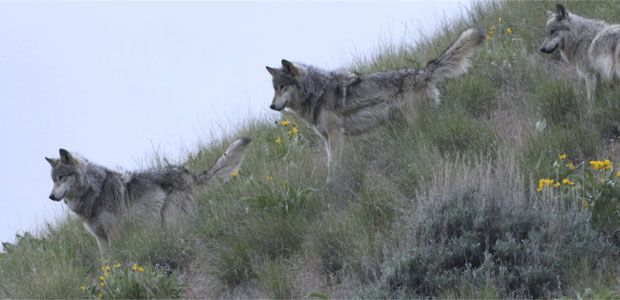 Gray wolves are the largest canids: on average, adults have a nose-to-tail length between 4.5 and 6ft, a height at the shoulder from 26 to 32 inches, and a weight measuring between 50 and 110lbs.