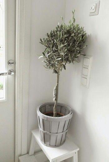 Ruukku ja oliivipuu