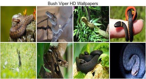 Bush Viper Hd Wallpapers This Wallpaper This Wallpaper