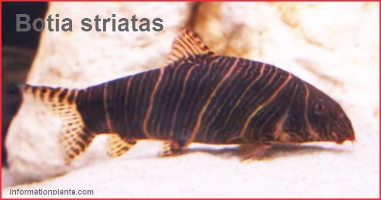 سمكة الزينة الحمار وحشي Botia Striatas سمك زينة انواع الاسماك معلومان عامه معلوماتية Pets Fish Pet Animals