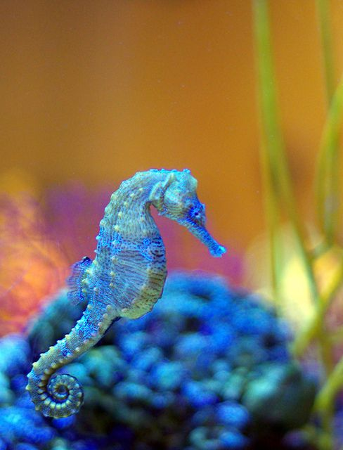 Sea Horse And In My Fave Color Blue Sea Animals Seahorse Pretty Animals