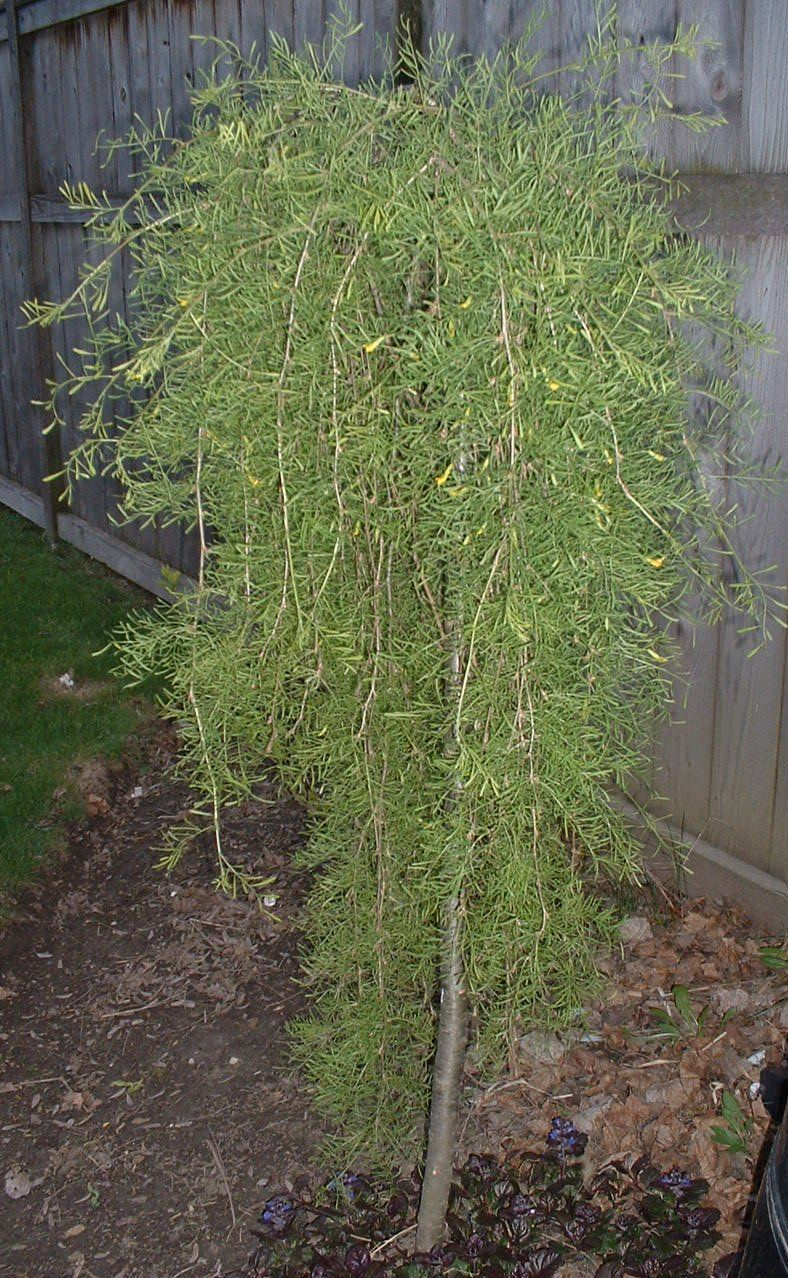 Weeping siberian pea tree plants in my garden for Weeping trees for small gardens