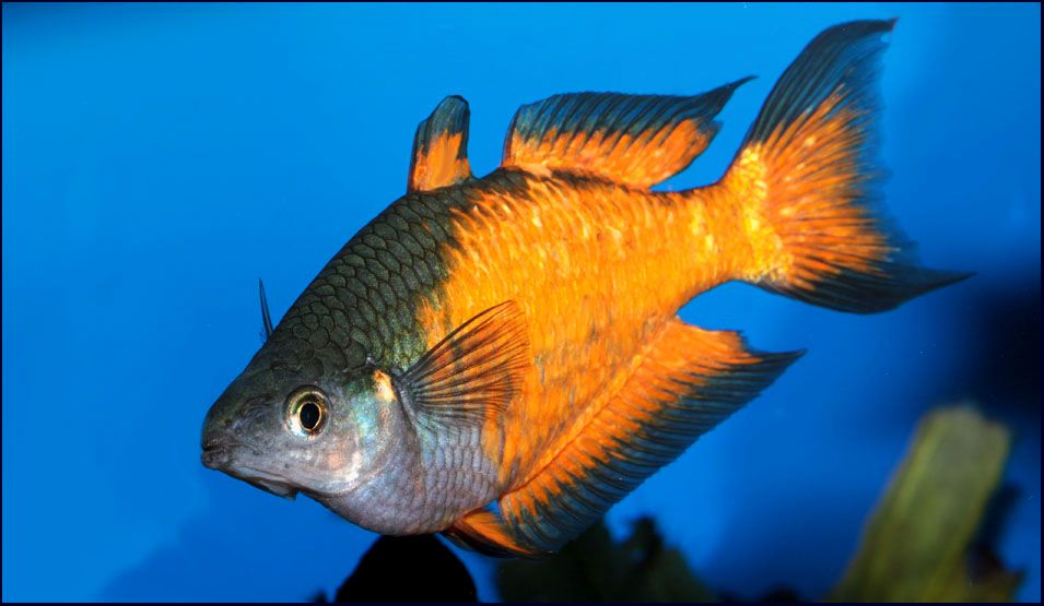 Melanotaenia Parkinsoni Aquarium Fish Freshwater Aquarium Fish Cool Fish