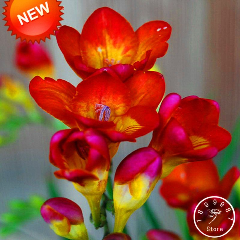 Sale Red Freesia Seeds Potted Flowering Plants Orchid Seeds 100 Seed Pack Yzj441 Orchid Seeds Seed Pots Planting Flowers