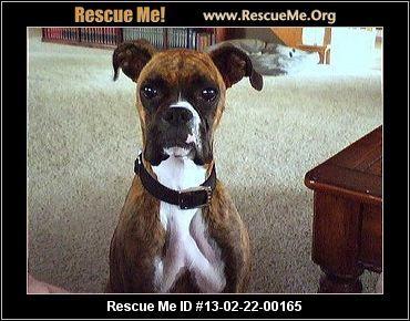 Michigan Boxer Rescue Adoptions Rescueme Org Boxer Rescue Boxer Dogs Dog Love