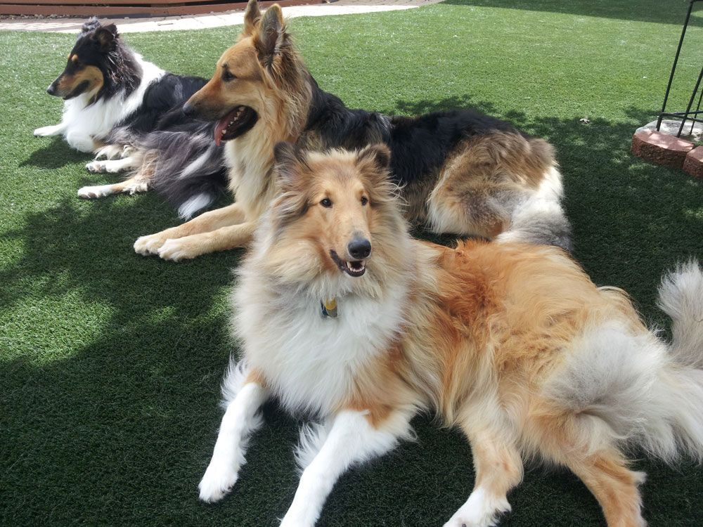 The Rough Collie or LongHaired Collie, is a long coated