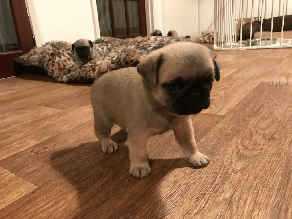 Pug Puppies For Sale Pondfield Road Eastchester Ny Pug